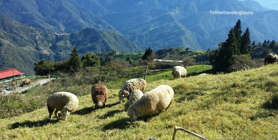 Sheeps at the Cingjing Farm