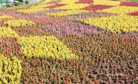 Sea of Flower Festival Five